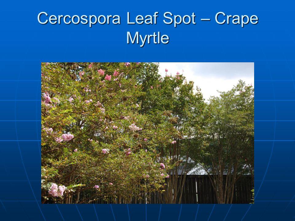 Cercospora Leaf Spot – Crape Myrtle