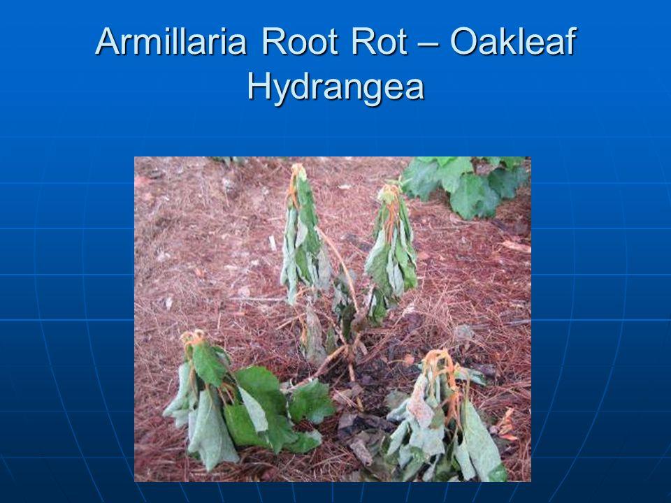 Armillaria Root Rot – Oakleaf Hydrangea