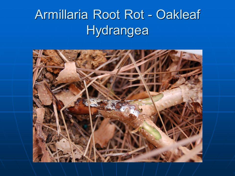 Armillaria Root Rot - Oakleaf Hydrangea