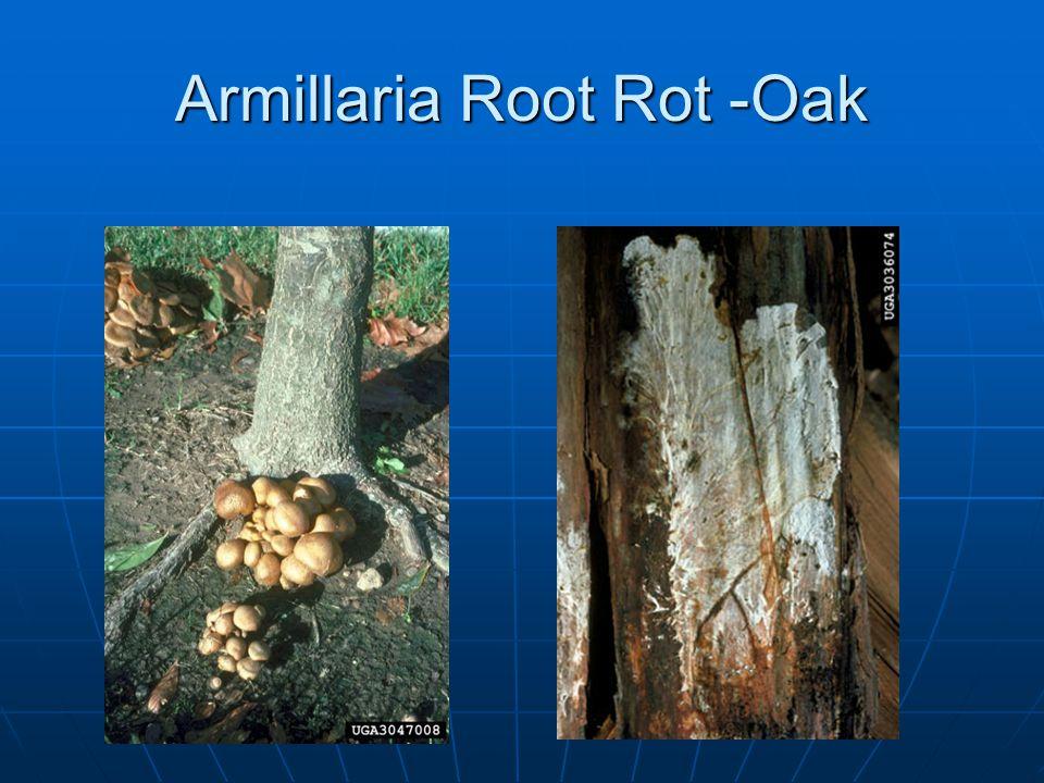 Armillaria Root Rot -Oak