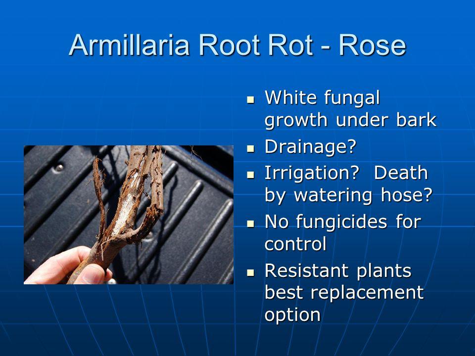 Armillaria Root Rot - Rose
