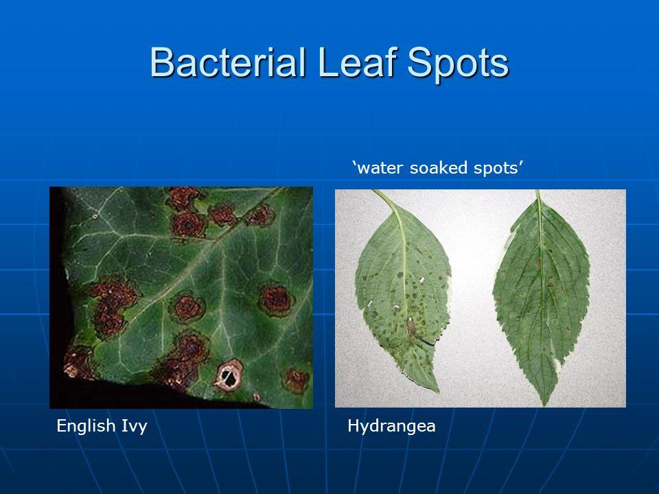 Bacterial Leaf Spots 'water soaked spots' English Ivy Hydrangea