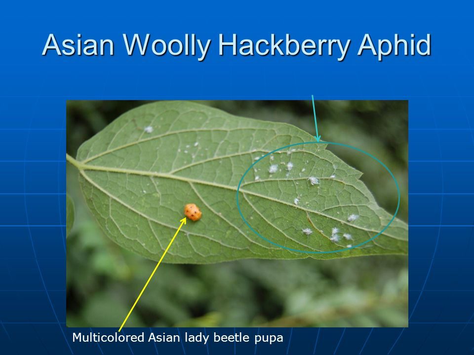 Asian Woolly Hackberry Aphid