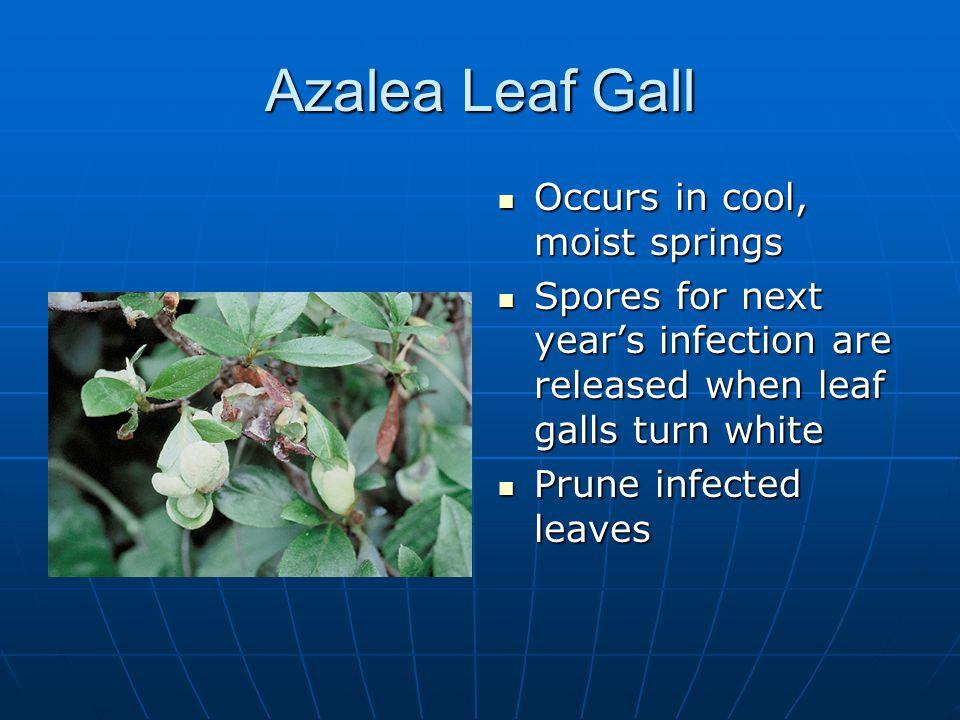 Azalea Leaf Gall Occurs in cool, moist springs