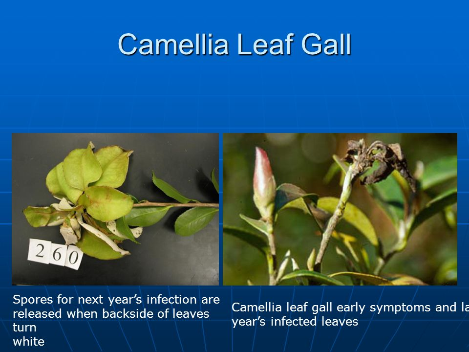 Camellia Leaf Gall Leaves, and occasionally flower buds, become deformed, developing pink or white, soft fleshy growths called galls.