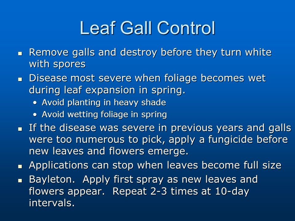 Leaf Gall Control Remove galls and destroy before they turn white with spores.