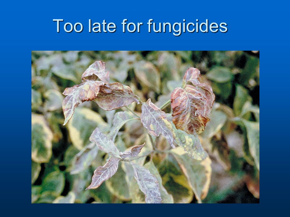 Too late for fungicides