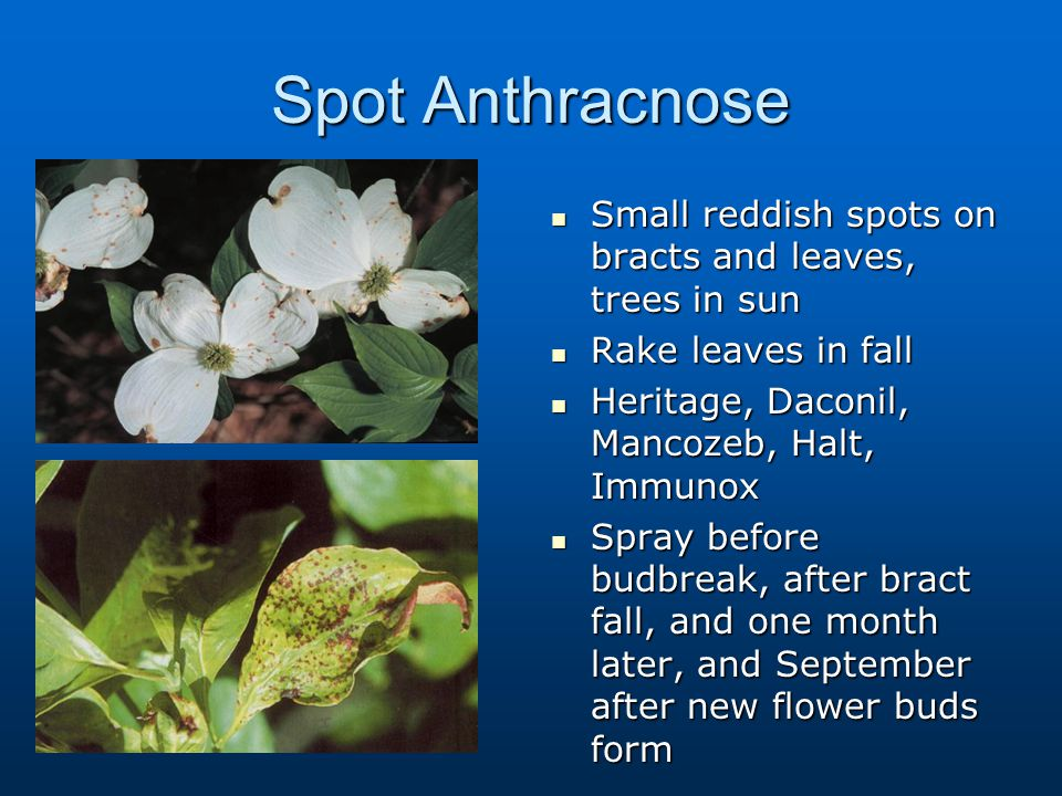 Spot Anthracnose Small reddish spots on bracts and leaves, trees in sun. Rake leaves in fall. Heritage, Daconil, Mancozeb, Halt, Immunox.