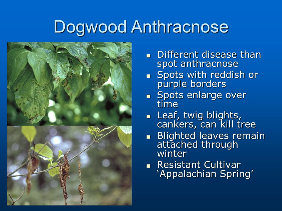 Dogwood Anthracnose Different disease than spot anthracnose