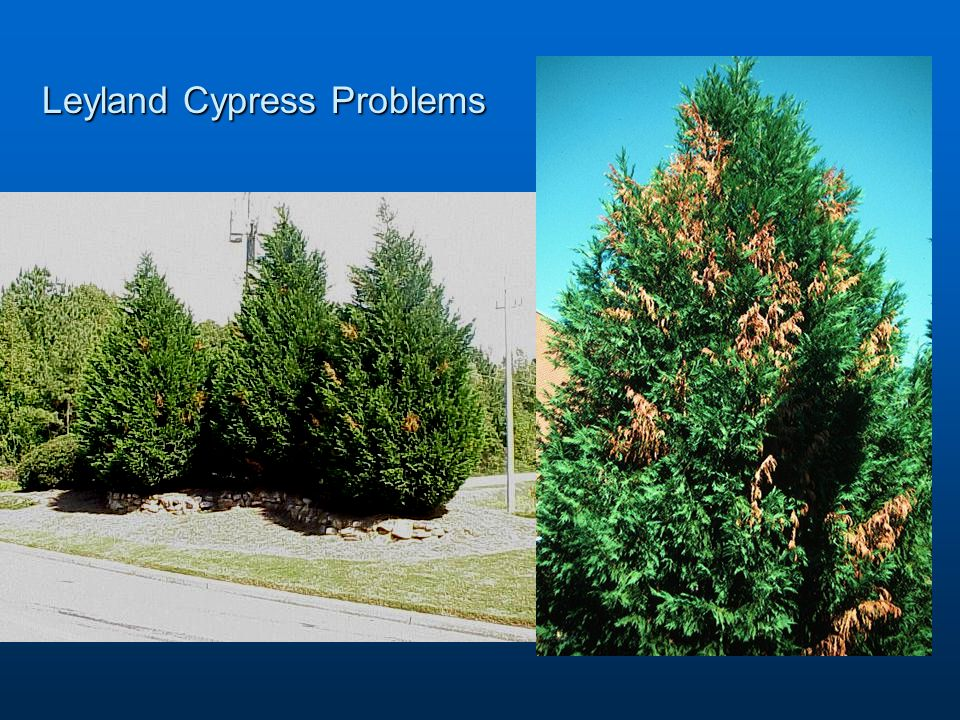 Leyland Cypress Problems