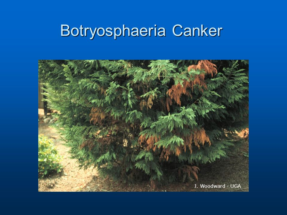 Botryosphaeria Canker