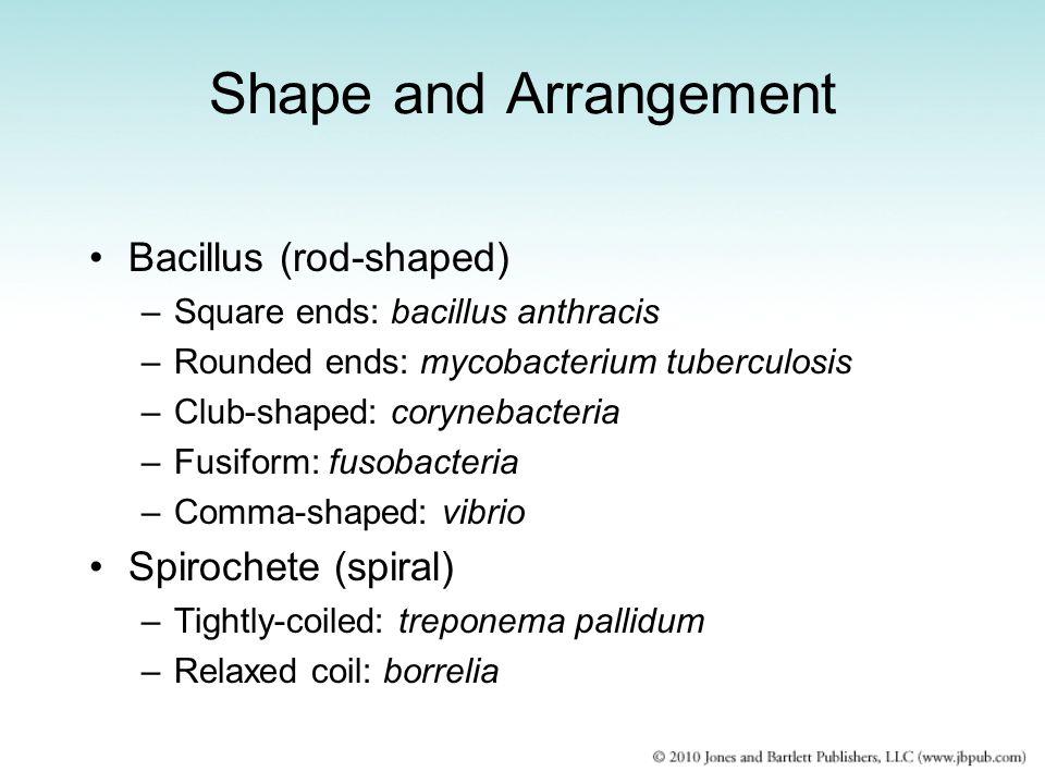 Shape and Arrangement Bacillus (rod-shaped) Spirochete (spiral)