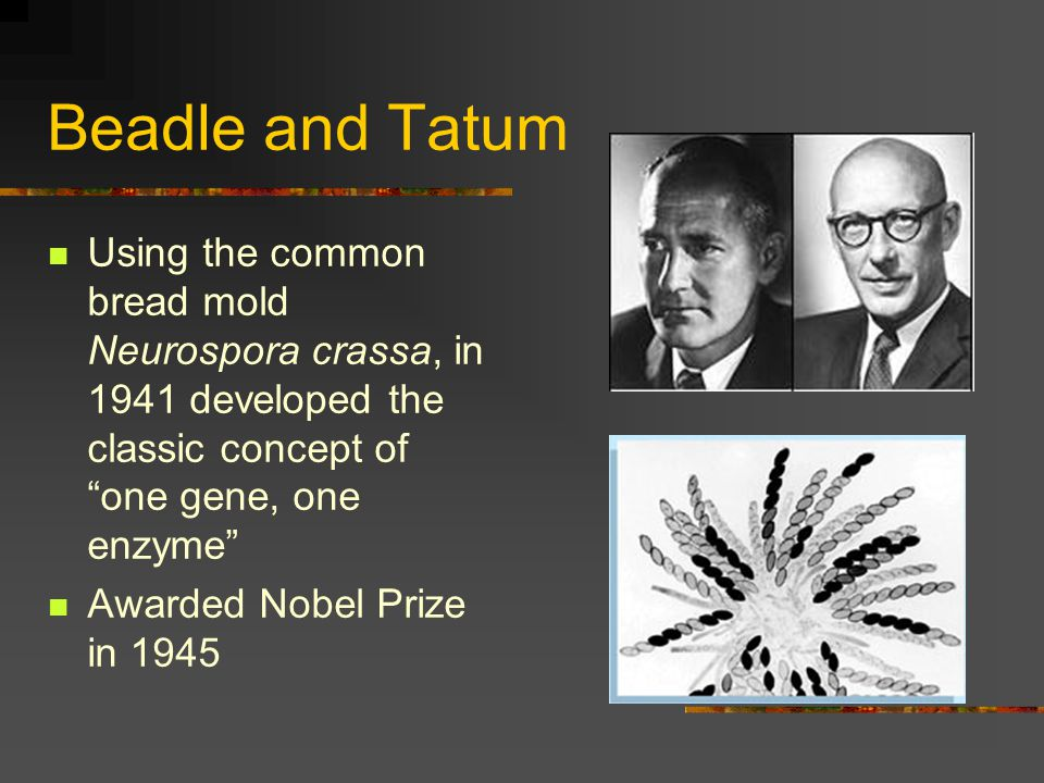Beadle and Tatum Using the common bread mold Neurospora crassa, in 1941 developed the classic concept of one gene, one enzyme