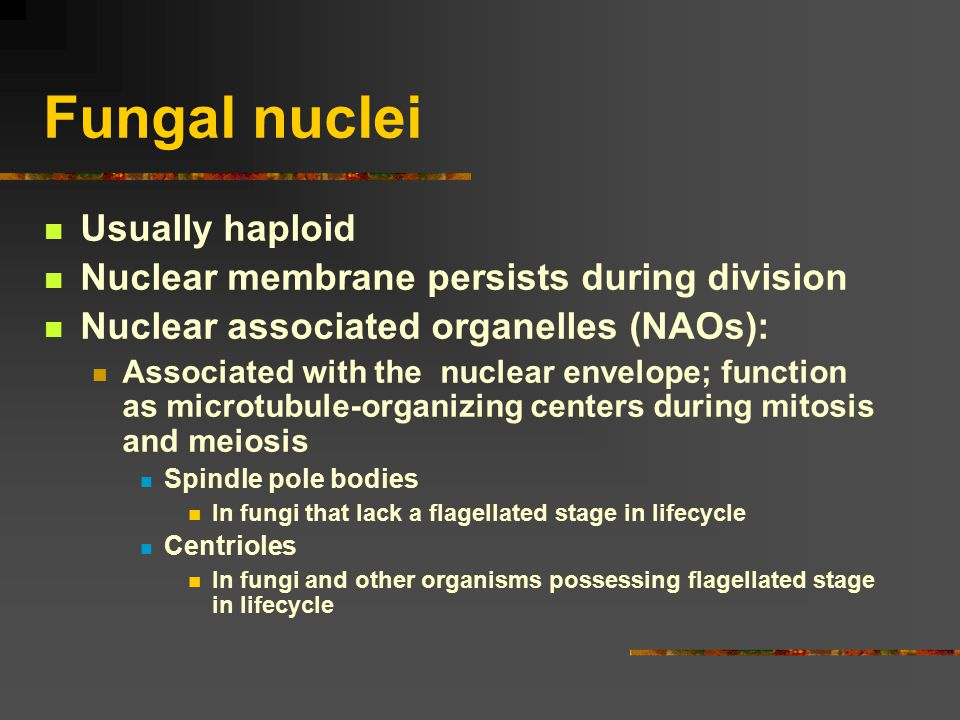 Fungal nuclei Usually haploid