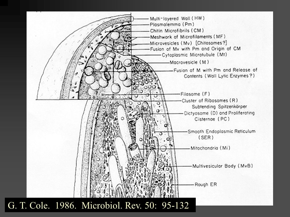 G. T. Cole. 1986. Microbiol. Rev. 50: 95-132