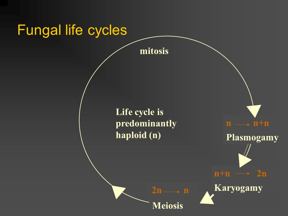 Fungal life cycles mitosis Life cycle is predominantly haploid (n)