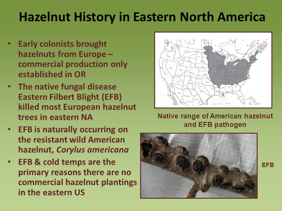Hazelnut History in Eastern North America