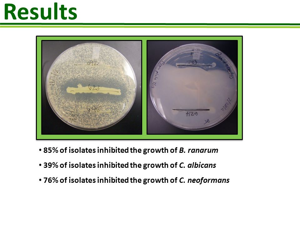 Results 85% of isolates inhibited the growth of B. ranarum