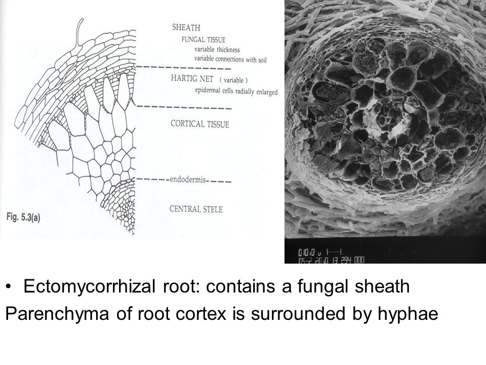 Ectomycorrhizal root: contains a fungal sheath