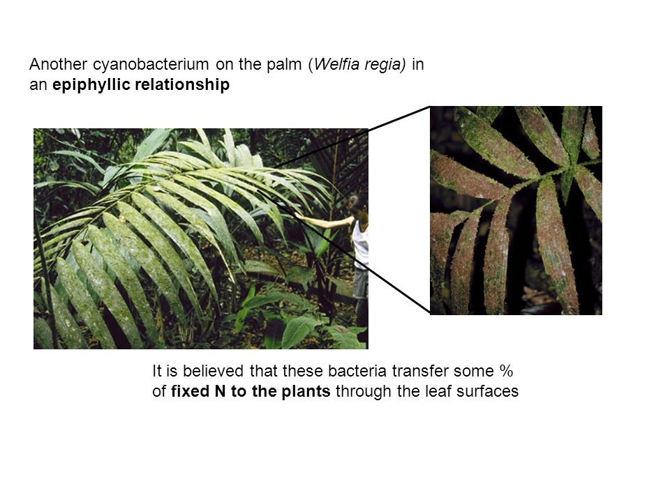 Another cyanobacterium on the palm (Welfia regia) in an epiphyllic relationship