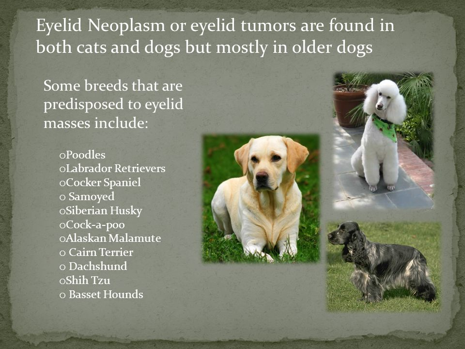 Eyelid Neoplasm or eyelid tumors are found in both cats and dogs but mostly in older dogs