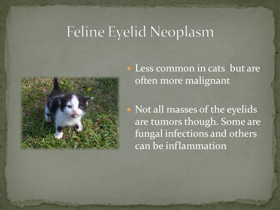 Feline Eyelid Neoplasm