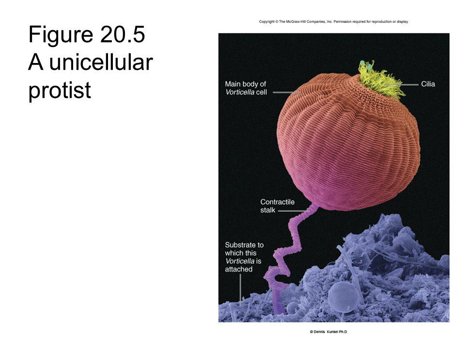Figure 20.5 A unicellular protist