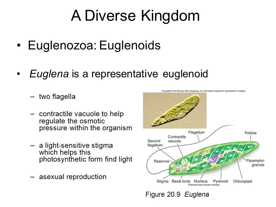 A Diverse Kingdom Euglenozoa: Euglenoids