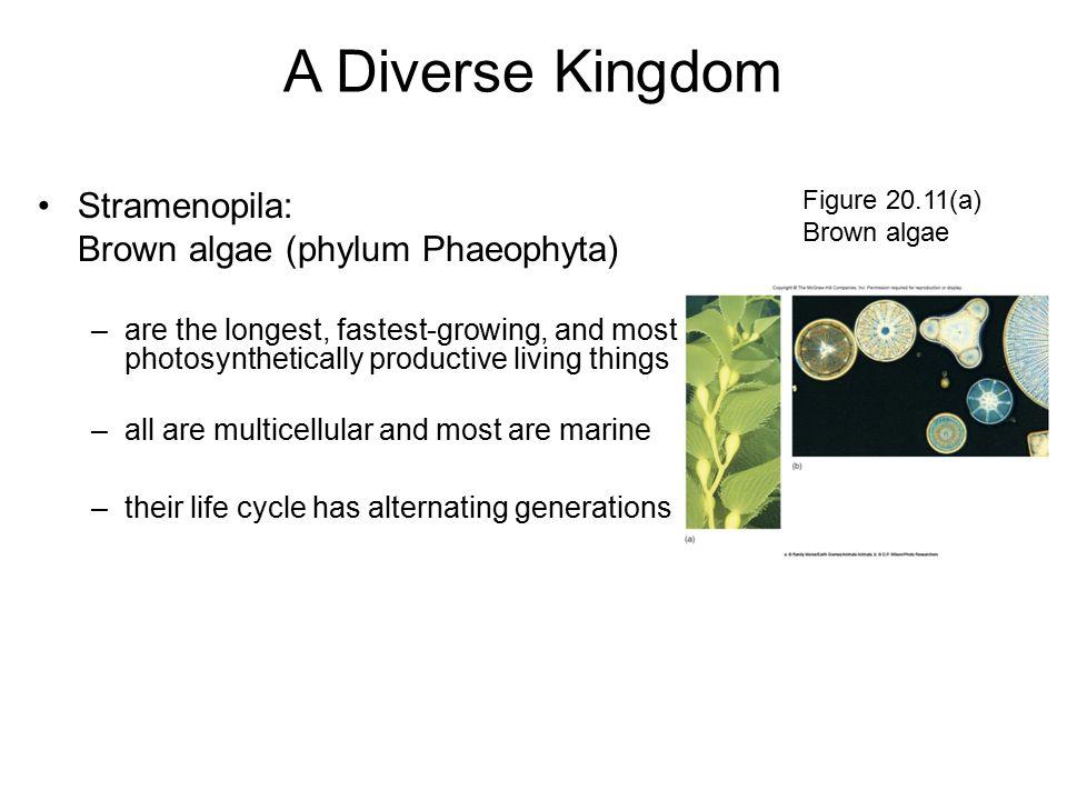 A Diverse Kingdom Stramenopila: Brown algae (phylum Phaeophyta)