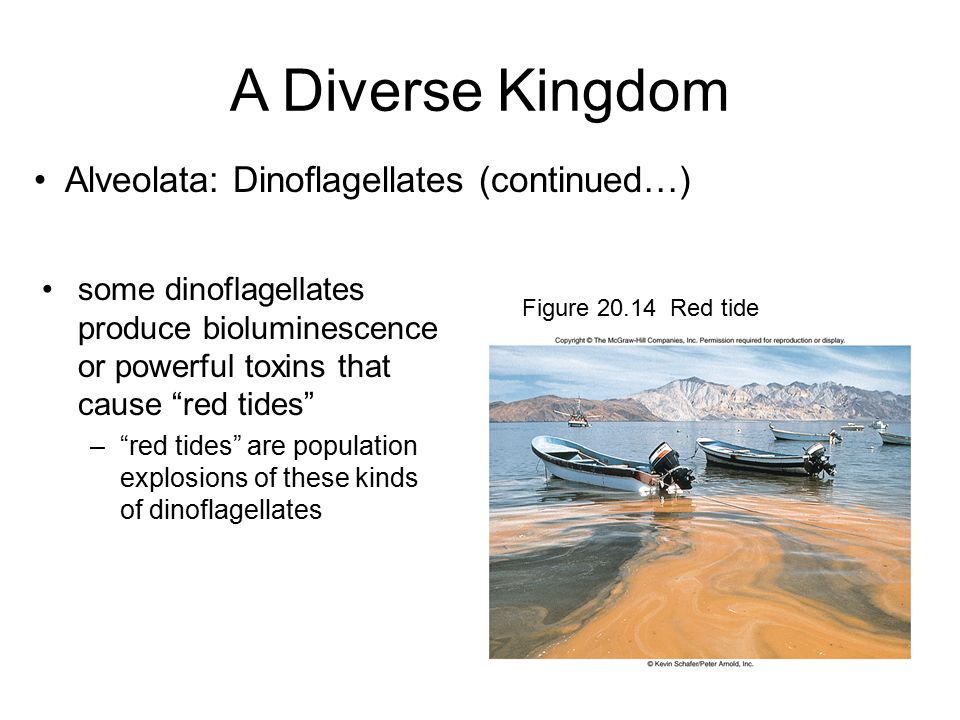 A Diverse Kingdom Alveolata: Dinoflagellates (continued…)