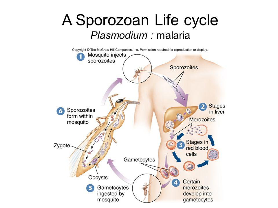 A Sporozoan Life cycle Plasmodium : malaria