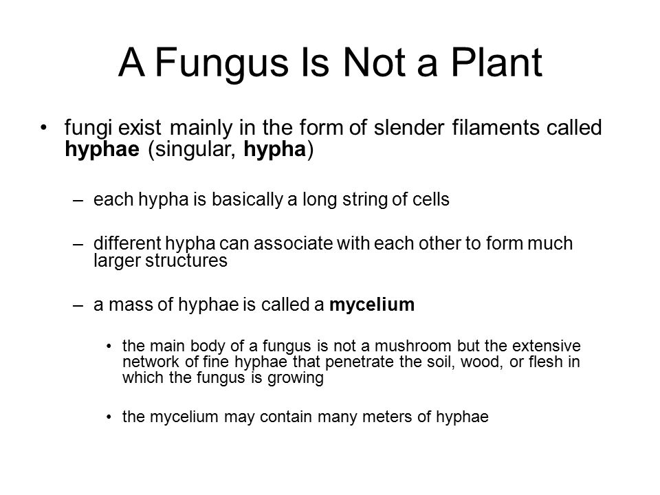 A Fungus Is Not a Plant fungi exist mainly in the form of slender filaments called hyphae (singular, hypha)