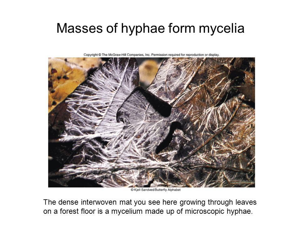 Masses of hyphae form mycelia