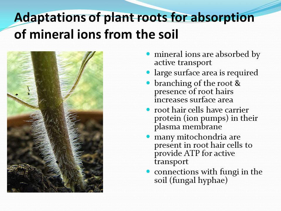 Adaptations of plant roots for absorption of mineral ions from the soil