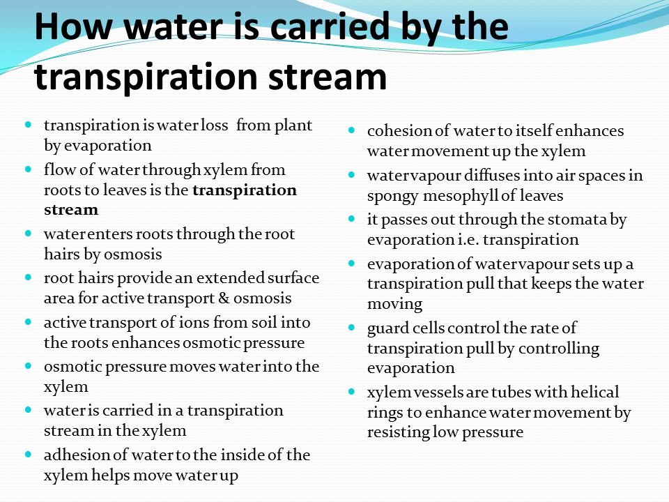 How water is carried by the transpiration stream