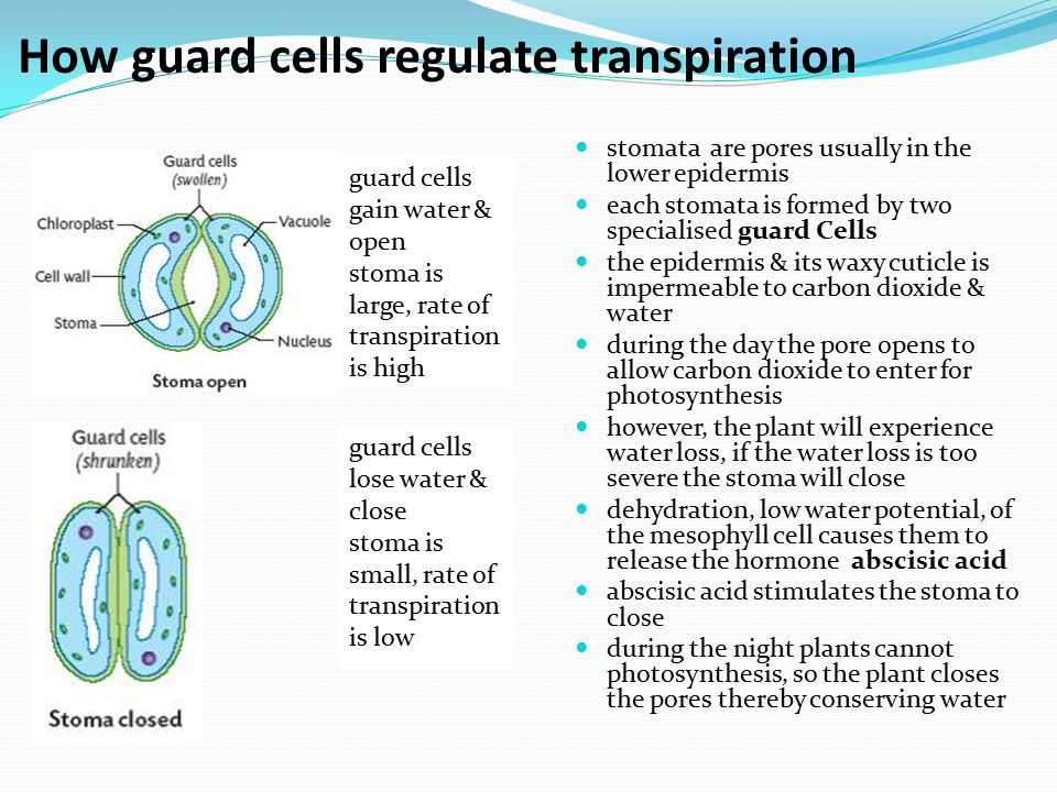 How guard cells regulate transpiration