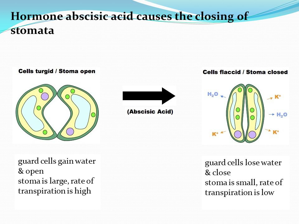 Hormone abscisic acid causes the closing of stomata