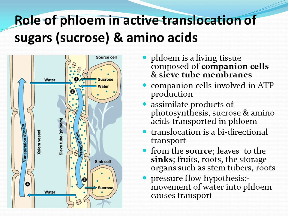 Role of phloem in active translocation of sugars (sucrose) & amino acids
