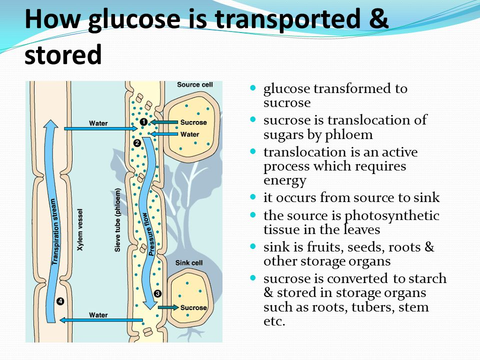 How glucose is transported & stored