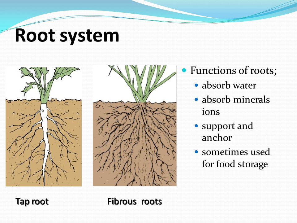 Root system Functions of roots; absorb water absorb minerals ions