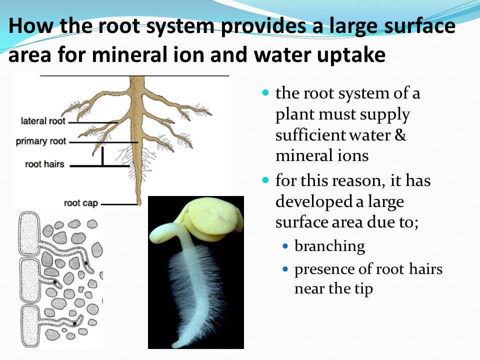 How the root system provides a large surface area for mineral ion and water uptake
