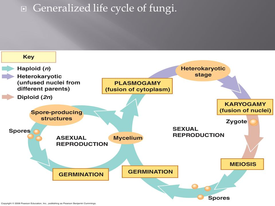 Generalized life cycle of fungi.