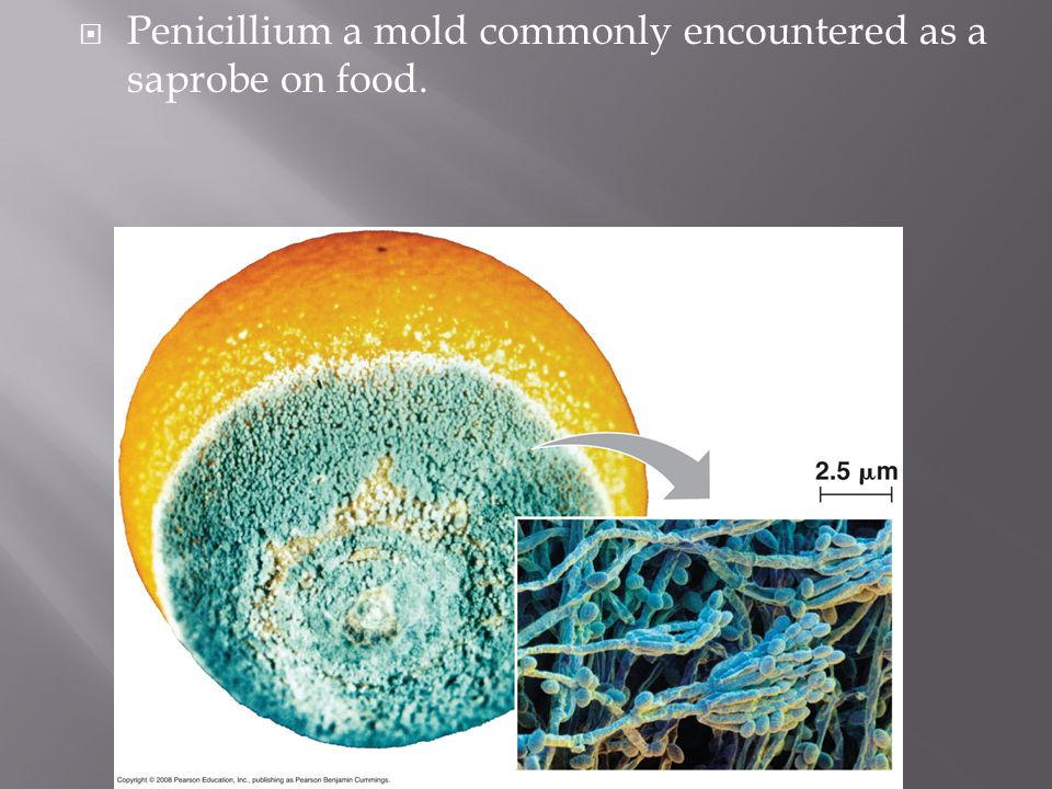 Penicillium a mold commonly encountered as a saprobe on food.