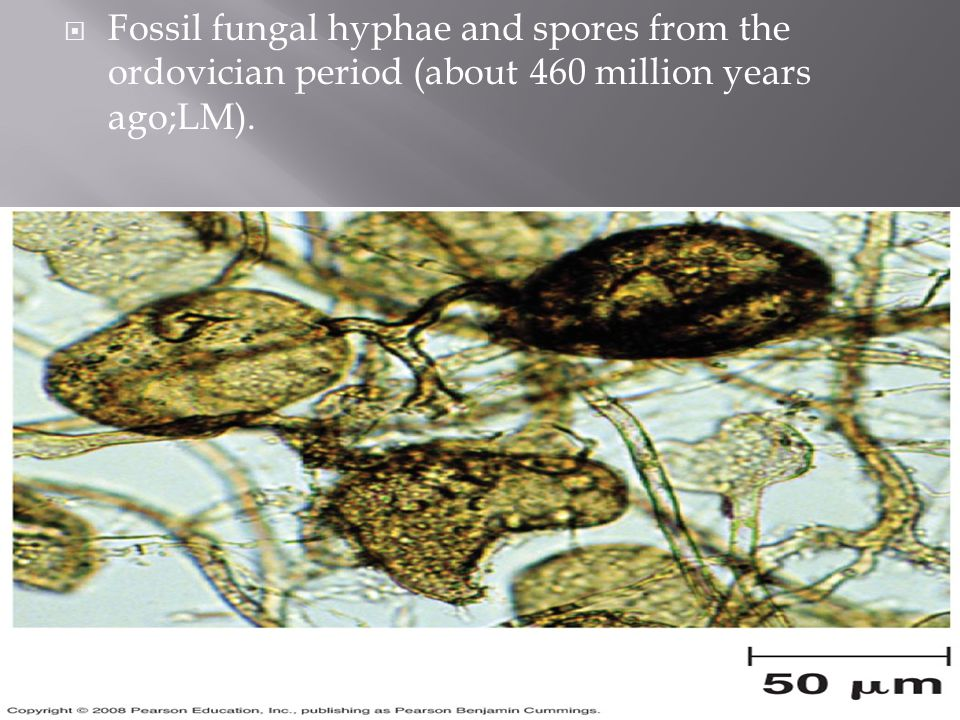 Fossil fungal hyphae and spores from the ordovician period (about 460 million years ago;LM).