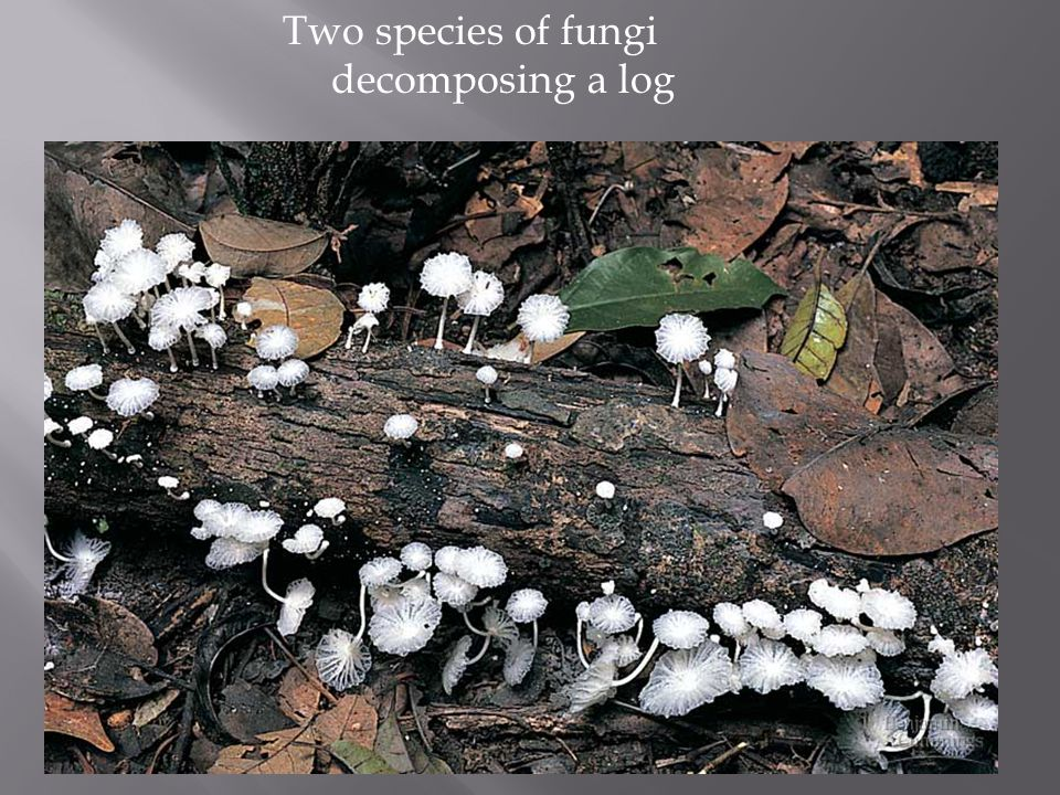 Two species of fungi decomposing a log