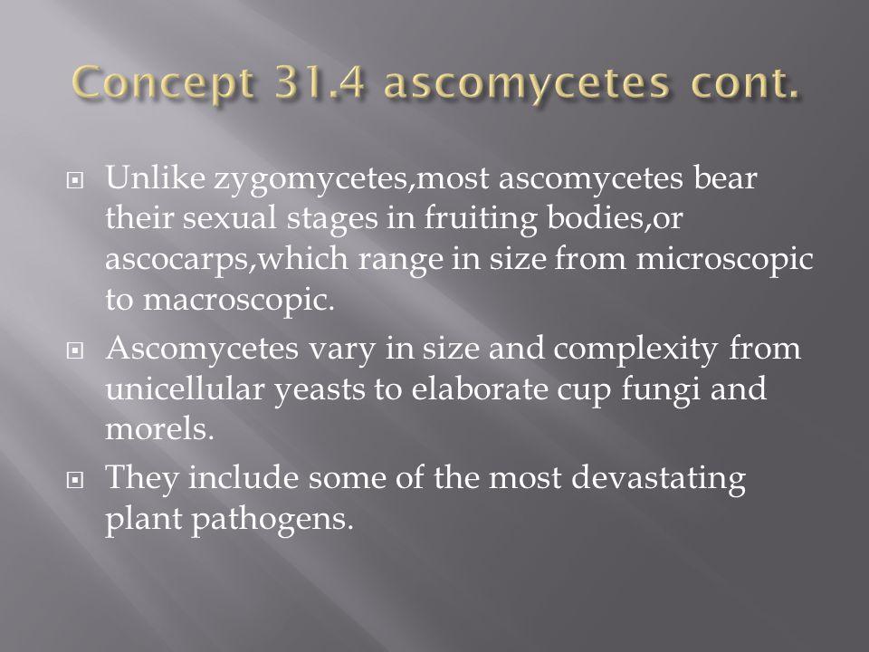 Concept 31.4 ascomycetes cont.