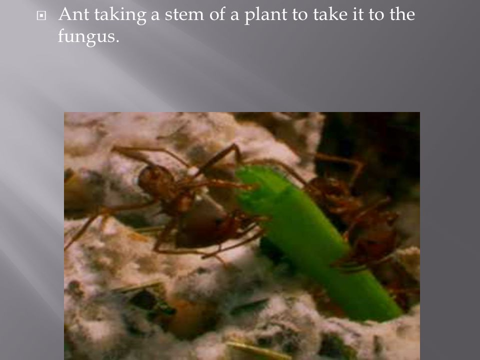 Ant taking a stem of a plant to take it to the fungus.