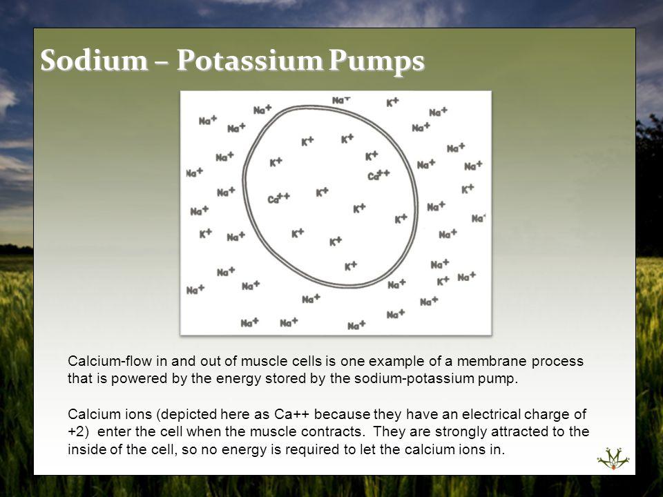 Sodium – Potassium Pumps