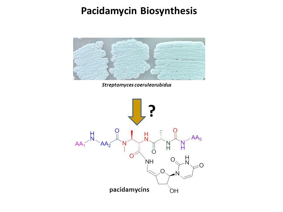 Pacidamycin Biosynthesis