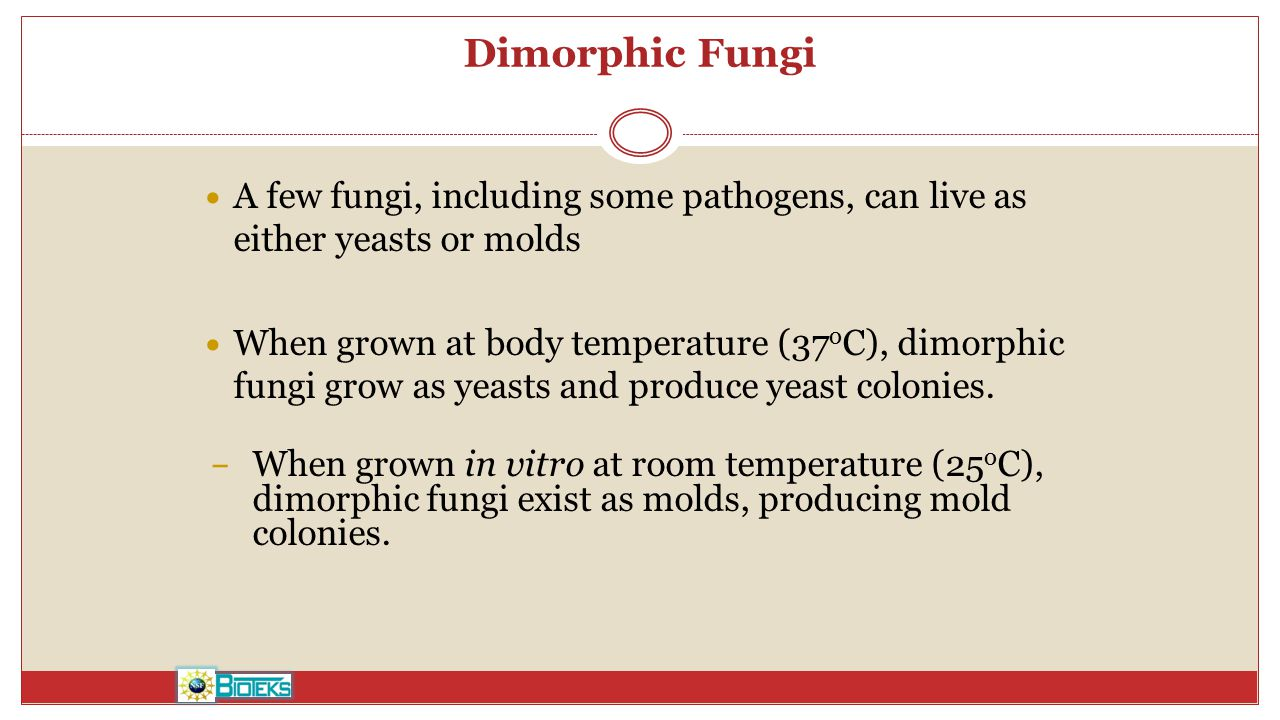 Dimorphic Fungi A few fungi, including some pathogens, can live as either yeasts or molds.